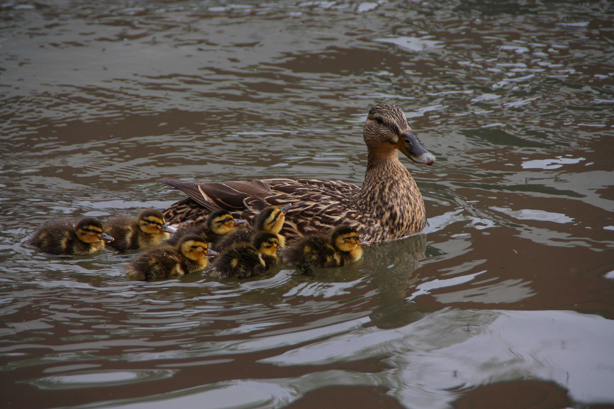 mallard and brood 3